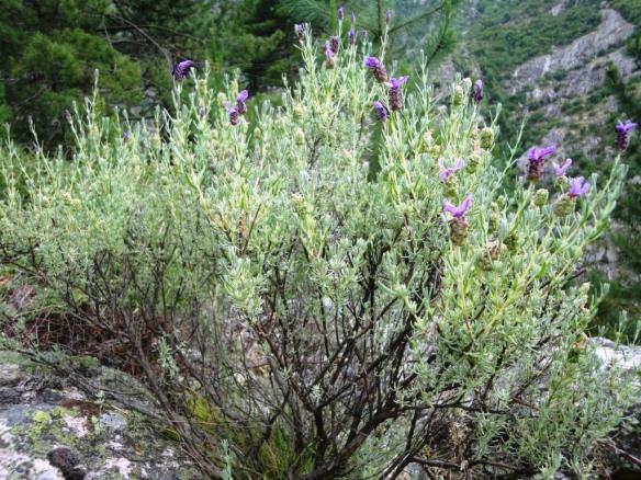Lavender, a typical maquis plant